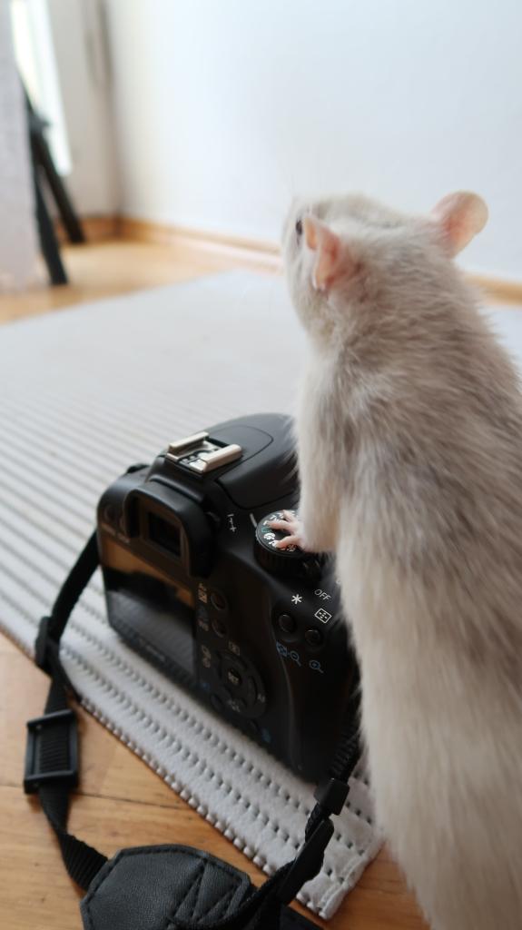 Rat on top of camera